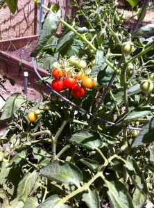 Luscious cherry tomatoes growing in my garden.