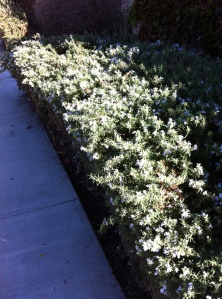 The Rosemary hedges are beginning to turn pale blue with flowers.